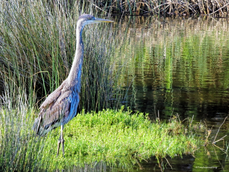 younger Great Blue Heron ud59
