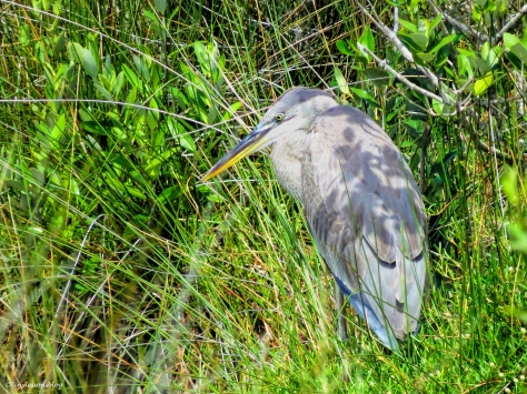 younger great blue heron ud61