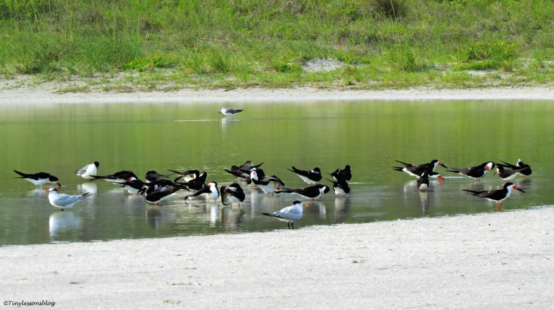 black skimmers royal terns and laughing gulls bathing ud65