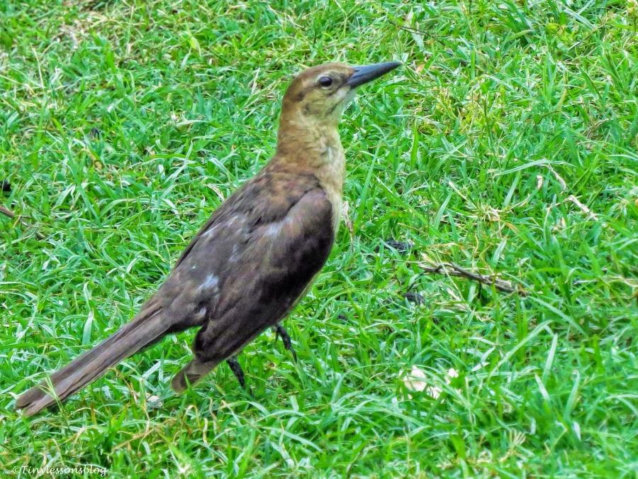 brown-headed cowbird ud66