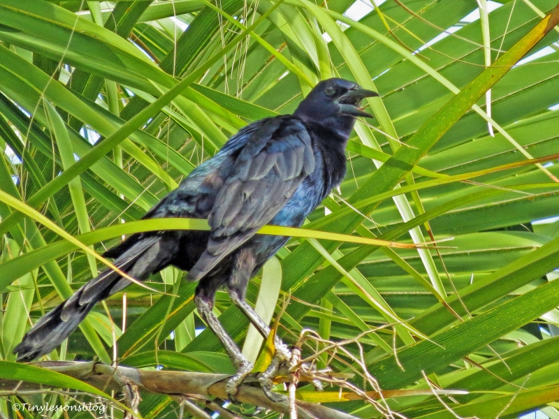 common grackle ud66