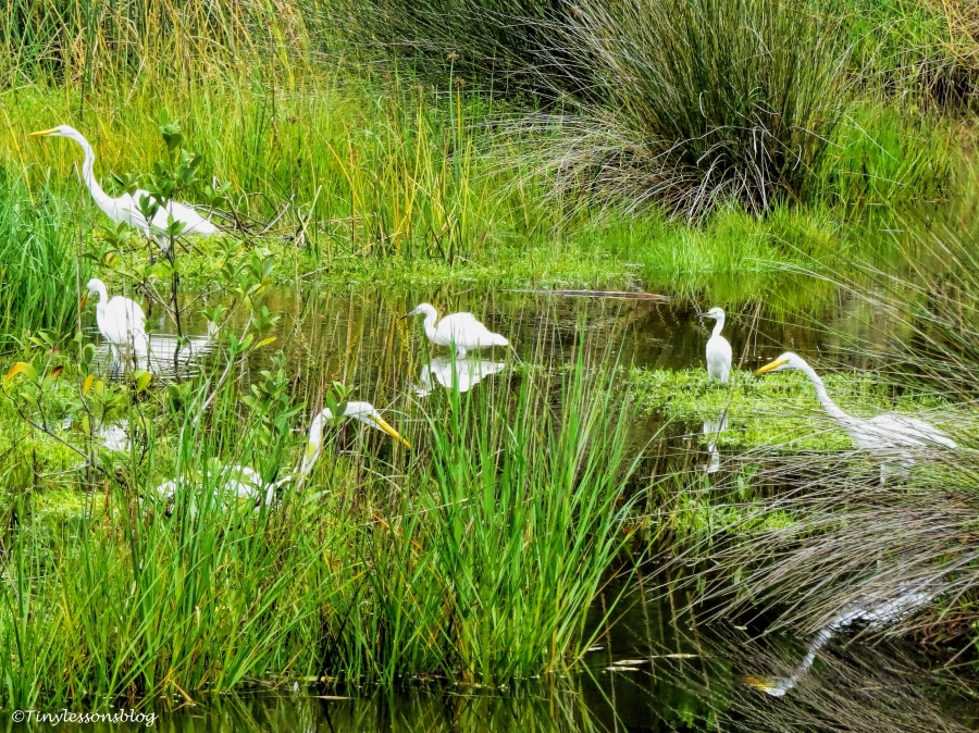 egrets at the saltt marsh ud66
