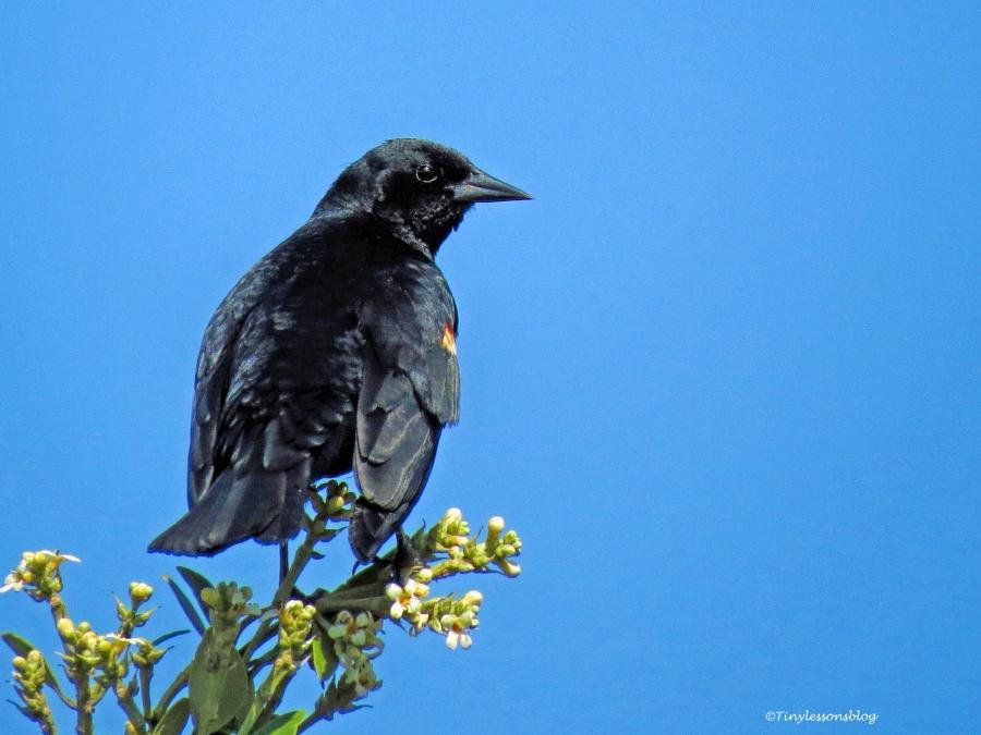 female red-winged blackbird ud69