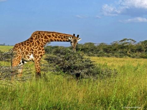 giraffes curves ud68