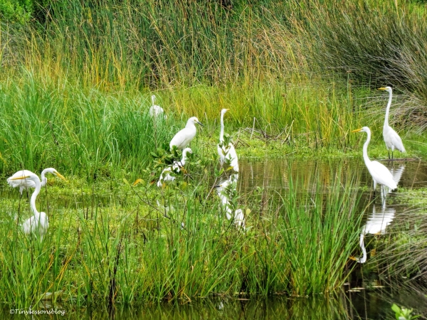 great and snoy egrets at salt marsh  ud66