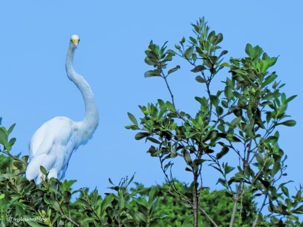 great egret curved neck ud68
