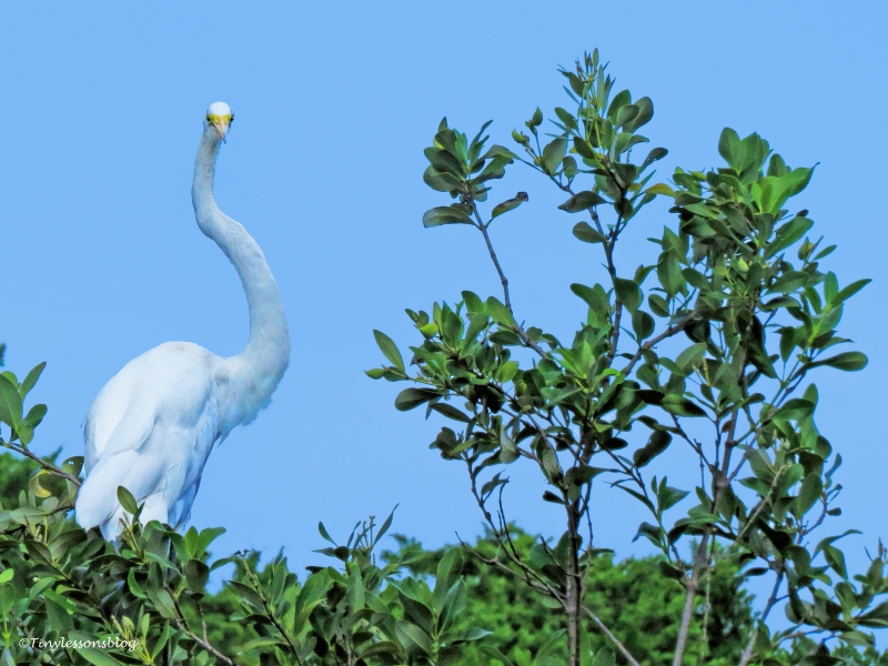 great egret curved neck ud68