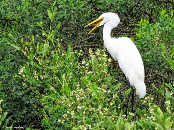 great egret making a speech UD66