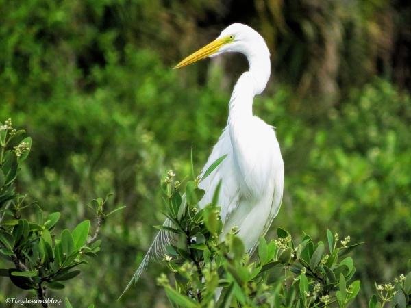 great egret ud65