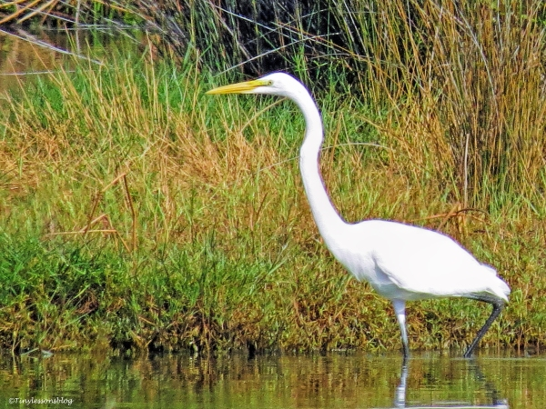 great egret ud67