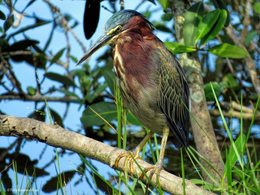 green heron ud69