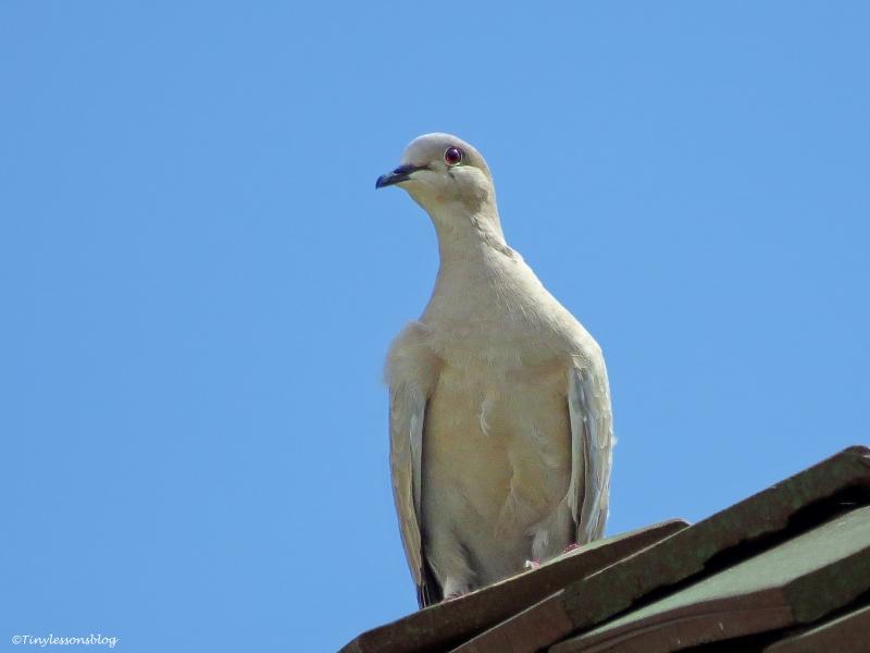 juvenile mourning dove ud64