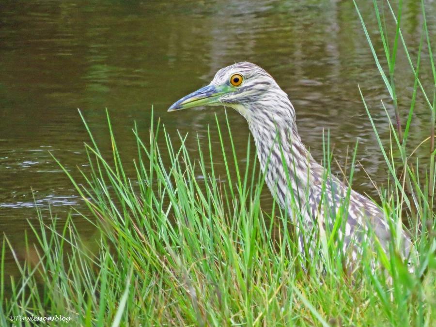 juvenile night heron 2 ud66