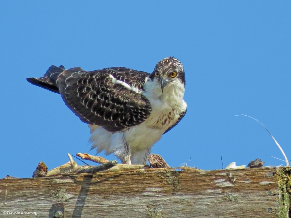 last picture of osprey chick lady cawcaw ud69