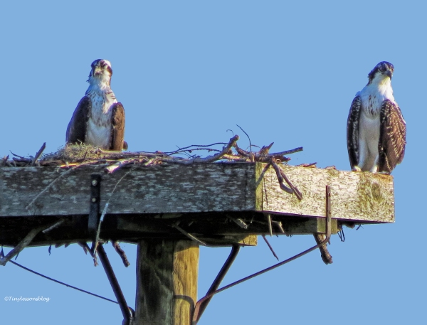 mama and osprey chick at sunsset ud63