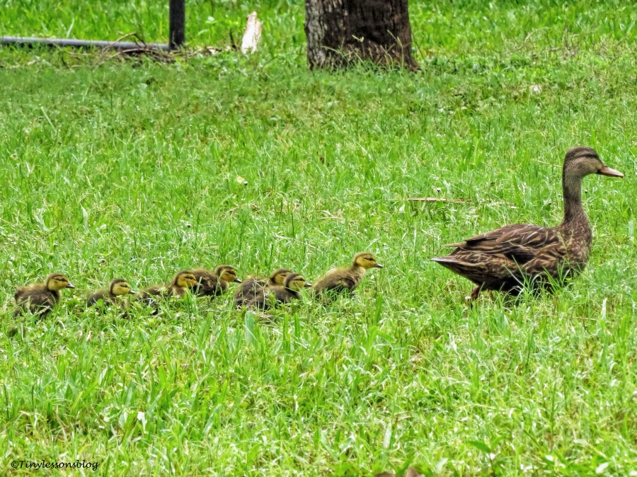 mama duck and ducklings 2 ud65