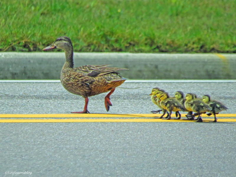 mama mottled duck takes ducklings over the gulf blvd ud65