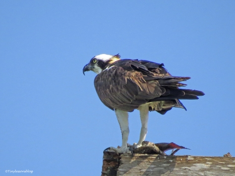 mama osprey at the nest ud69