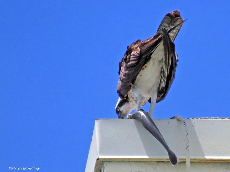 mama osprey eats her fish ud65