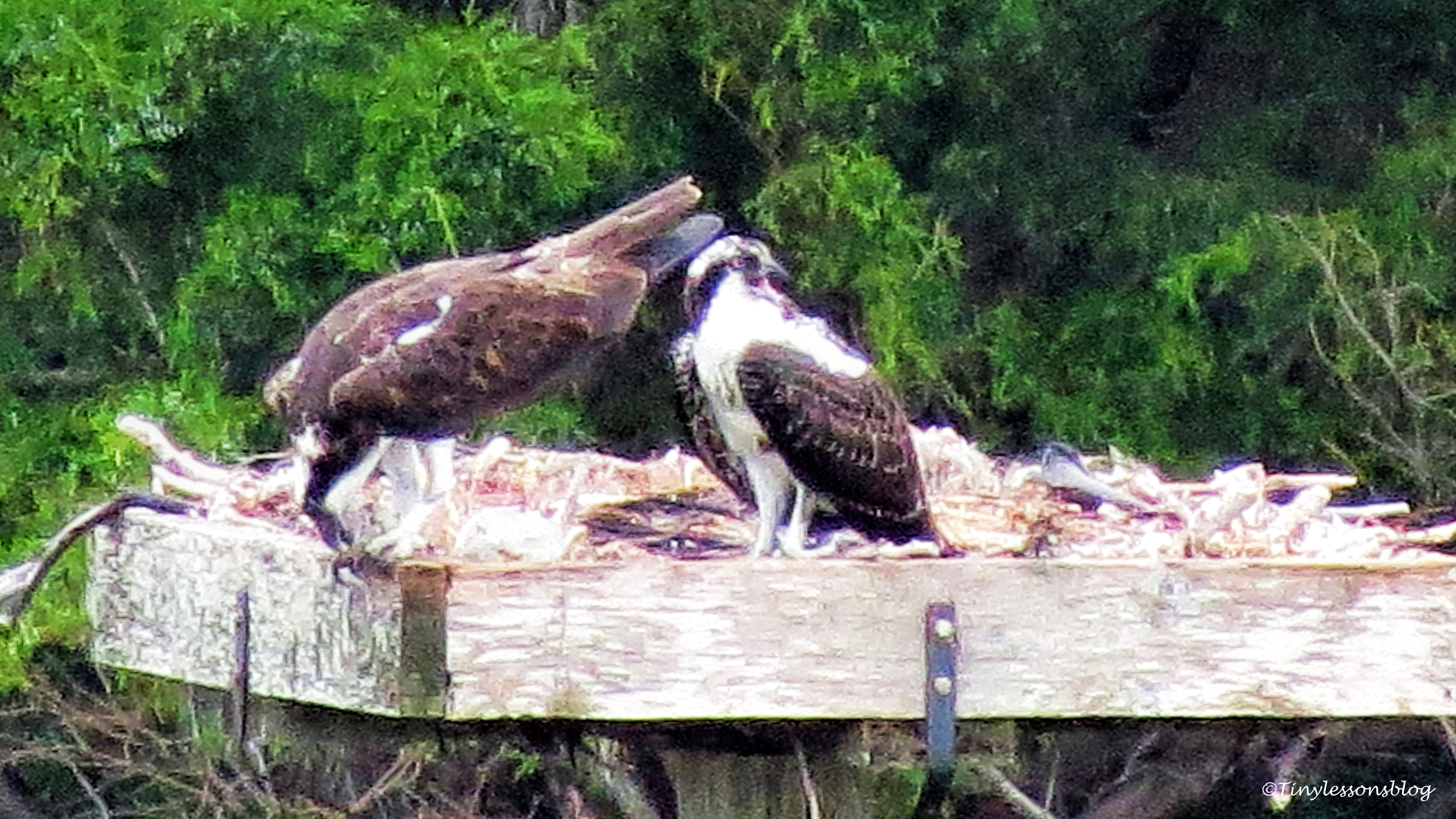 mama osprey eats in the nest with chick ud67