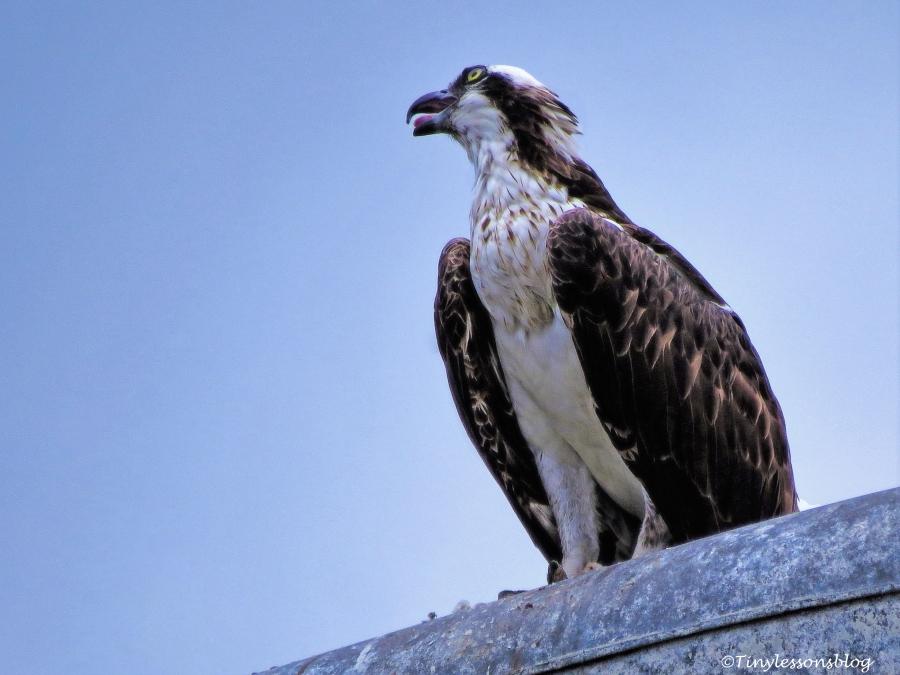 mama osprey finished her meal ud66