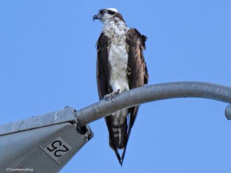mama osprey keeps an eye on chick ud64