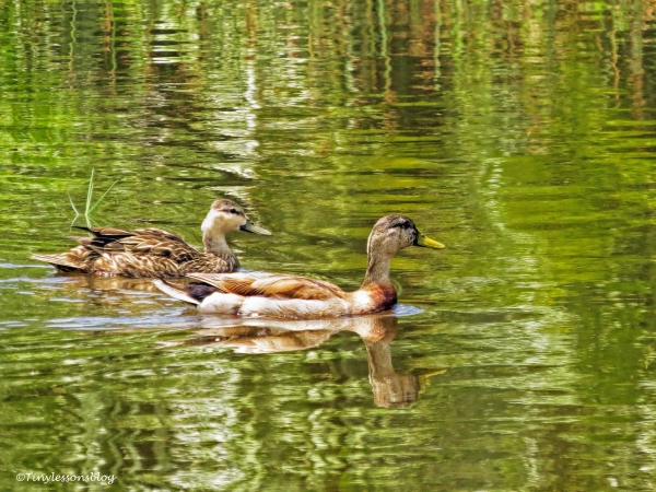 mottled duck couple ud66