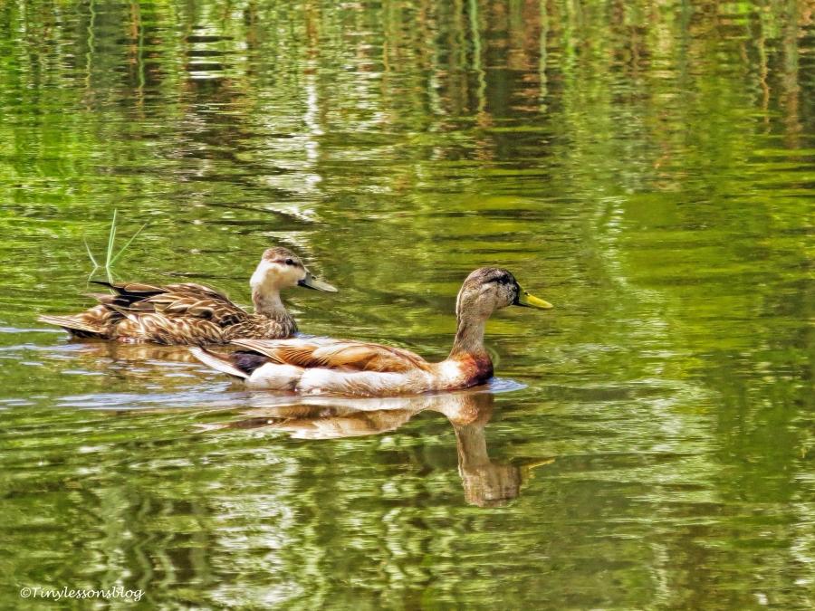 mottled duck couple ud66