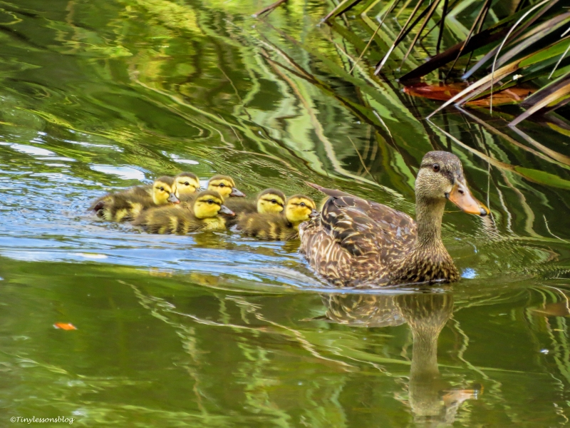 mottled duck mom with 7 ducklings ud65