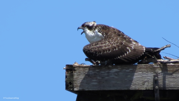osprey chick 16x9 ud65