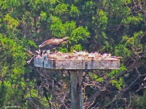 osprey chick eating fish mon june 13 ud66