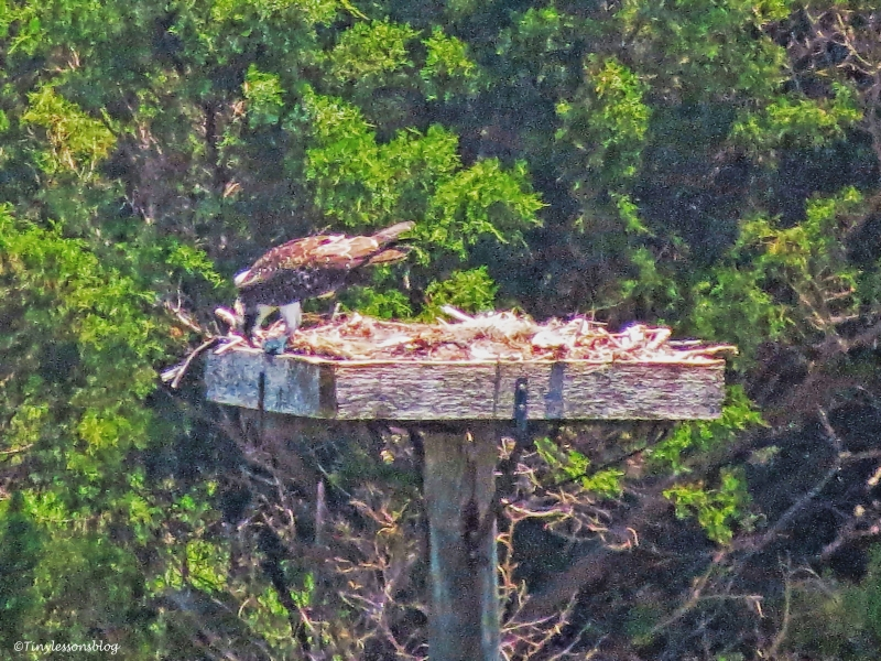 osprey chick eating fish mon june 13 ud66