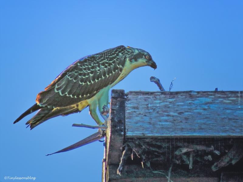 osprey chick eats big fish 2 ud64