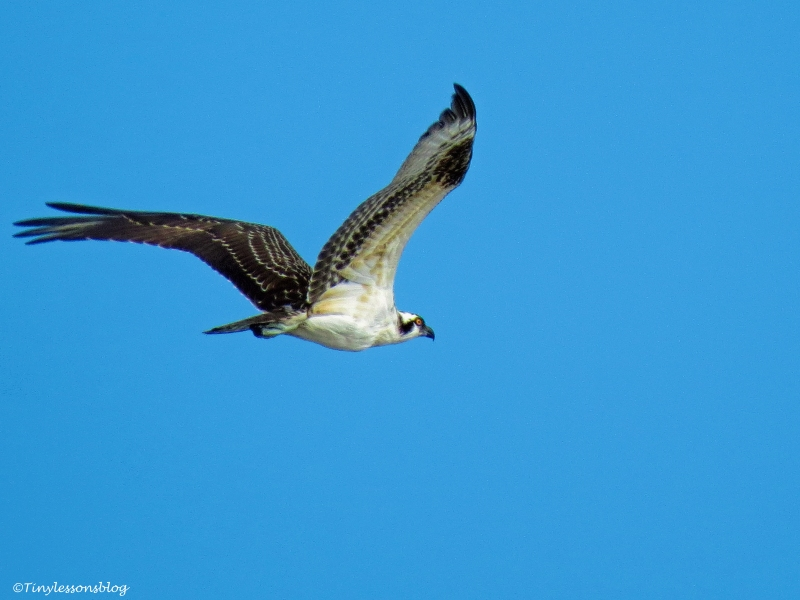 osprey chick flies over the ocean 3 ud65