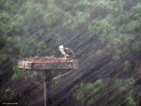 osprey chick in the the storm Colin ud65