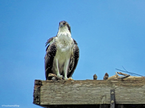 osprey chick is hungry ud66