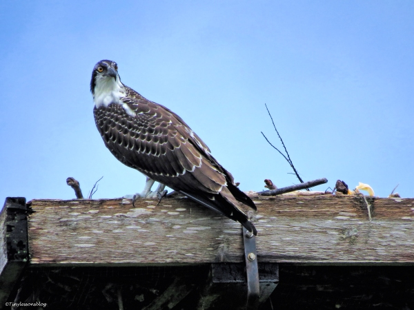 osprey chick Lady cawcaw ud65
