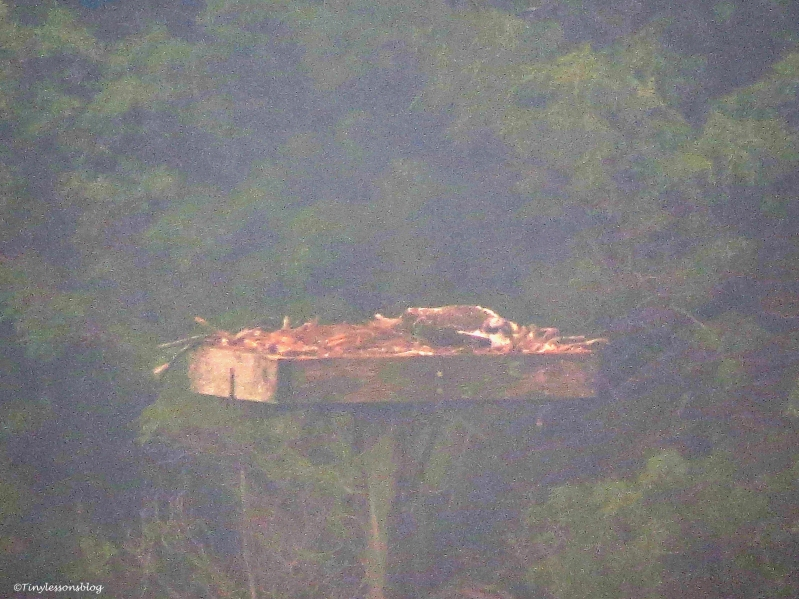 osprey chick layig low in high winds colin ud65