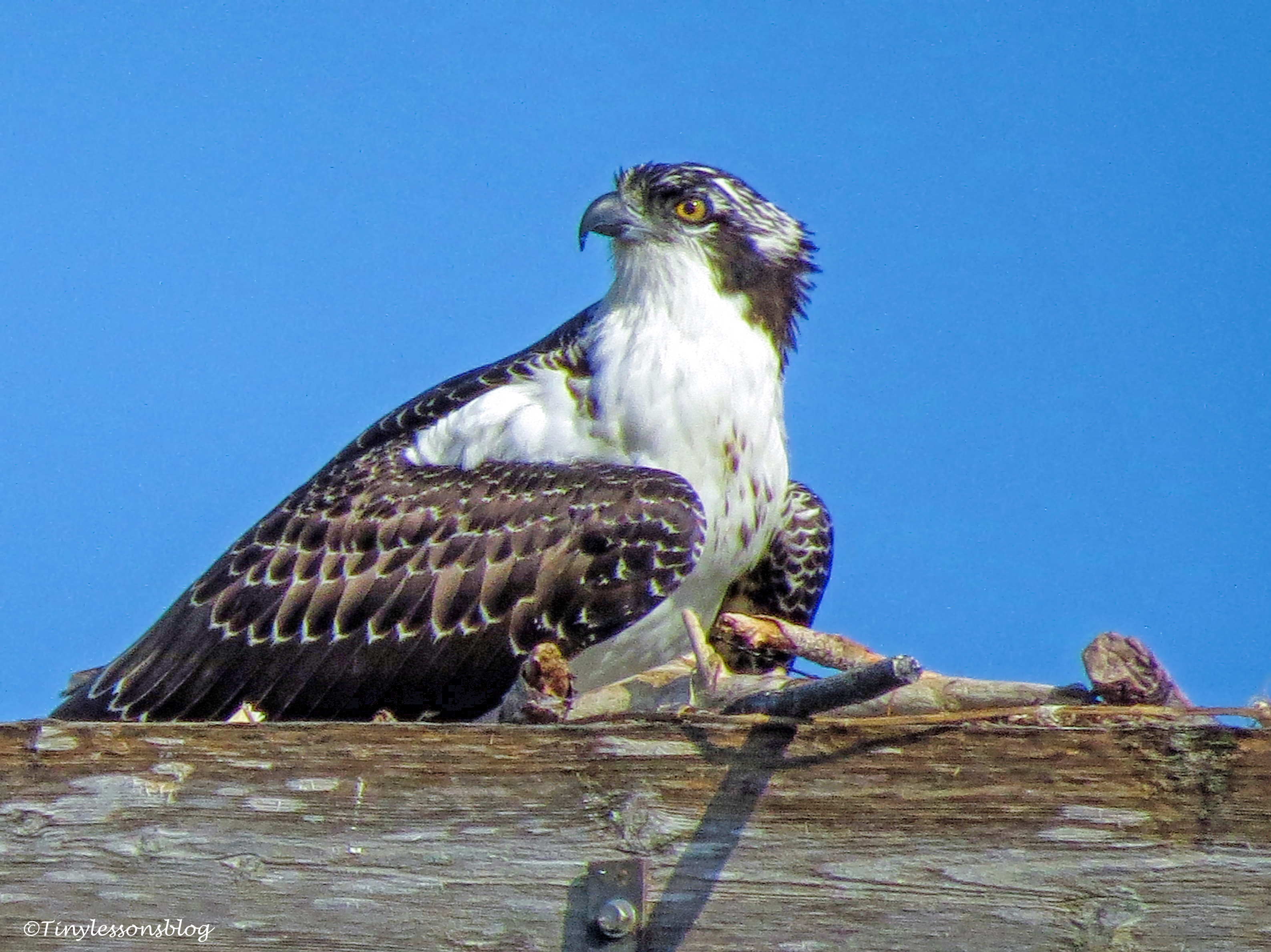 osprey chick looks at parents ud67