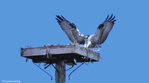 osprey chick returns 2 ud67 b