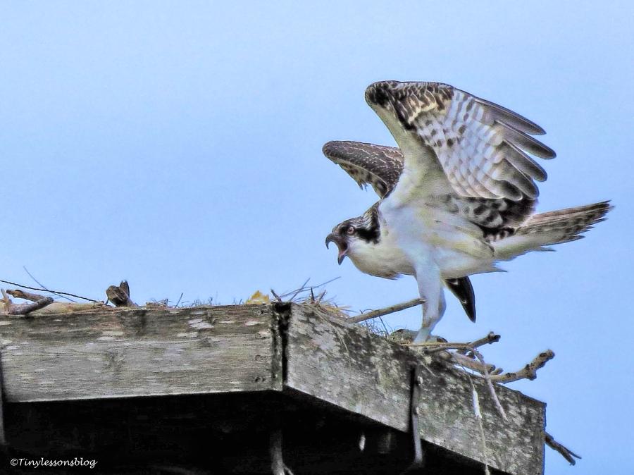 osprey chick returns to nest ud66