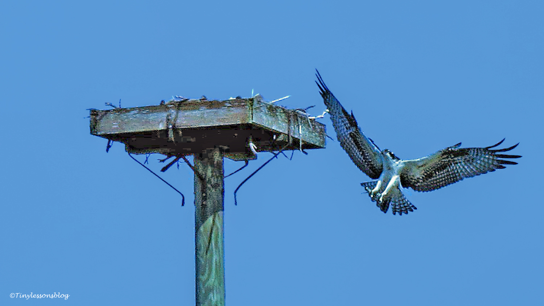 osprey chick returns ud67 b
