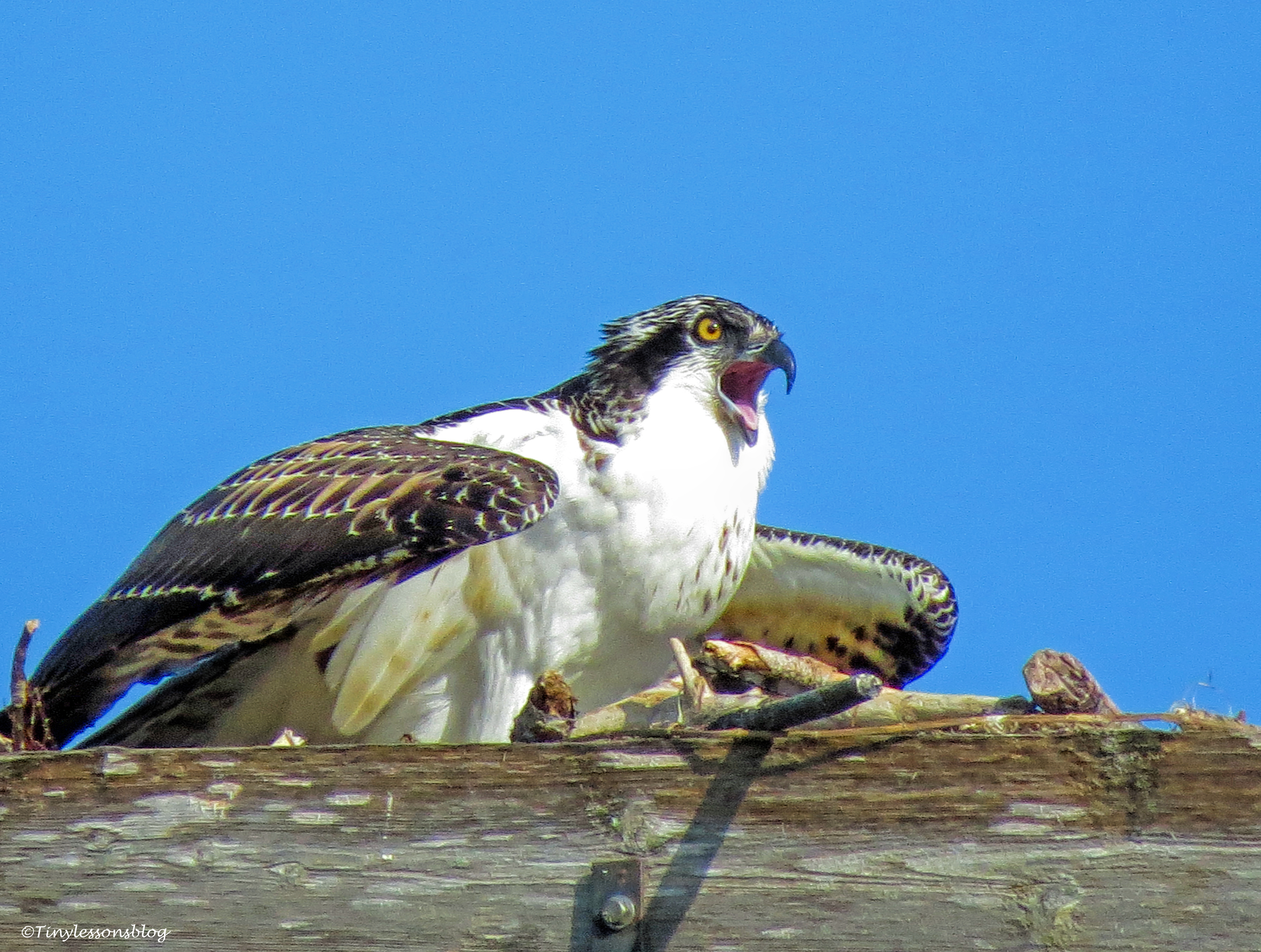osprey chick sees parents ud67
