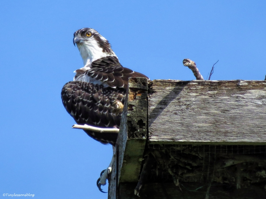 osprey chick waita for fish  2 ud64