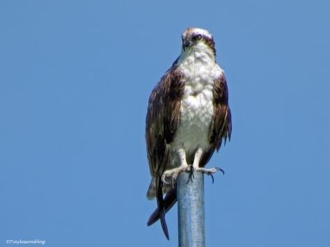 papa osprey at fire station ud67
