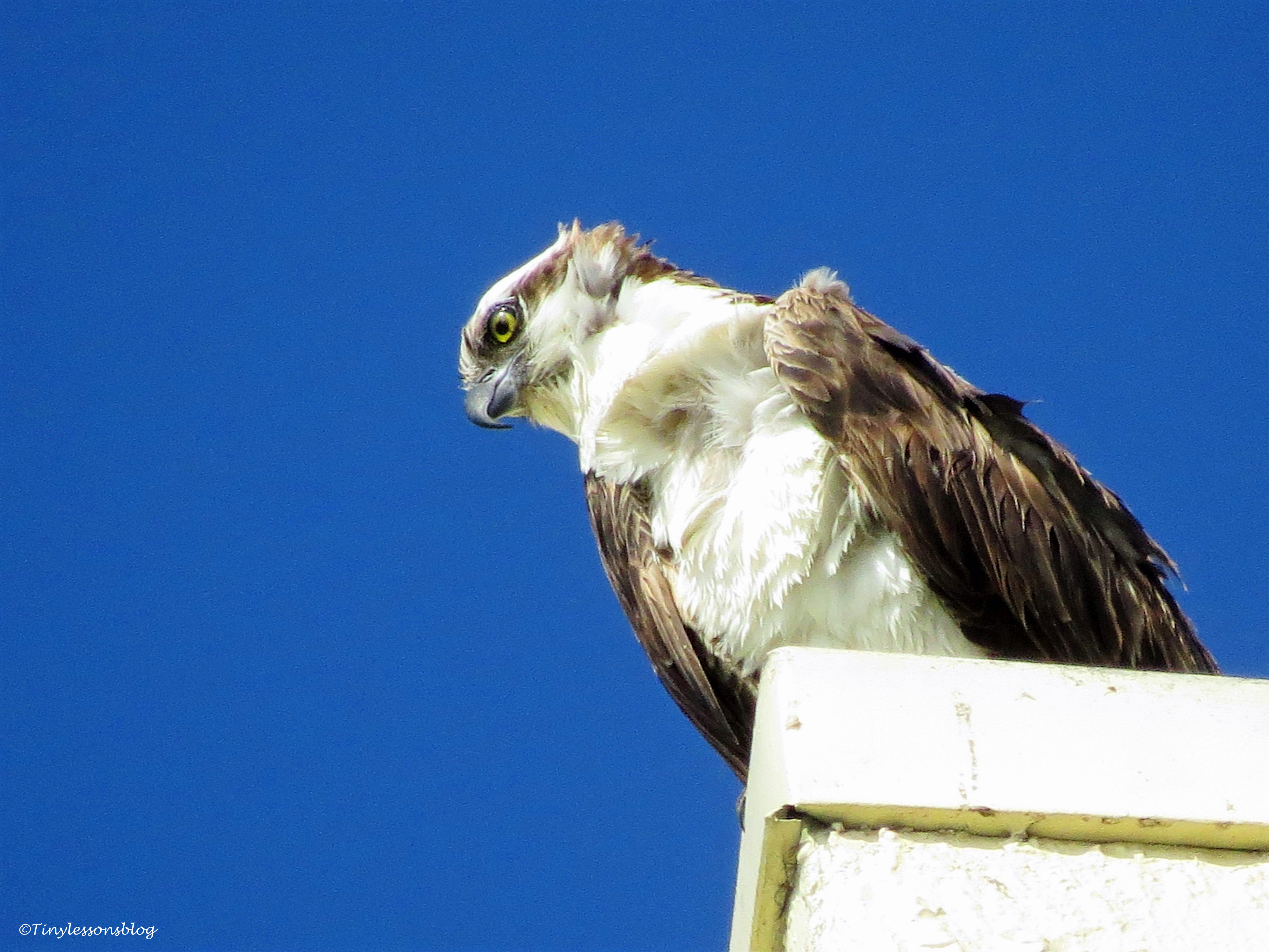papa osprey at Marriott's roof ud67