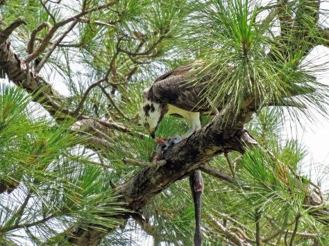 papa osprey eats his fish ud65.jpg