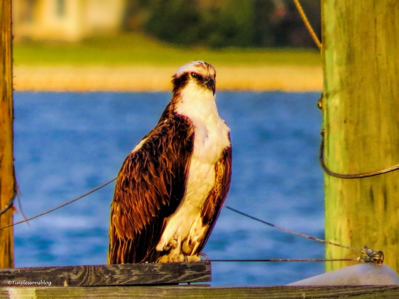 papa osprey ud63