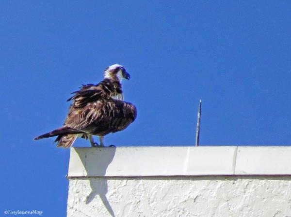 papa osprey ud69