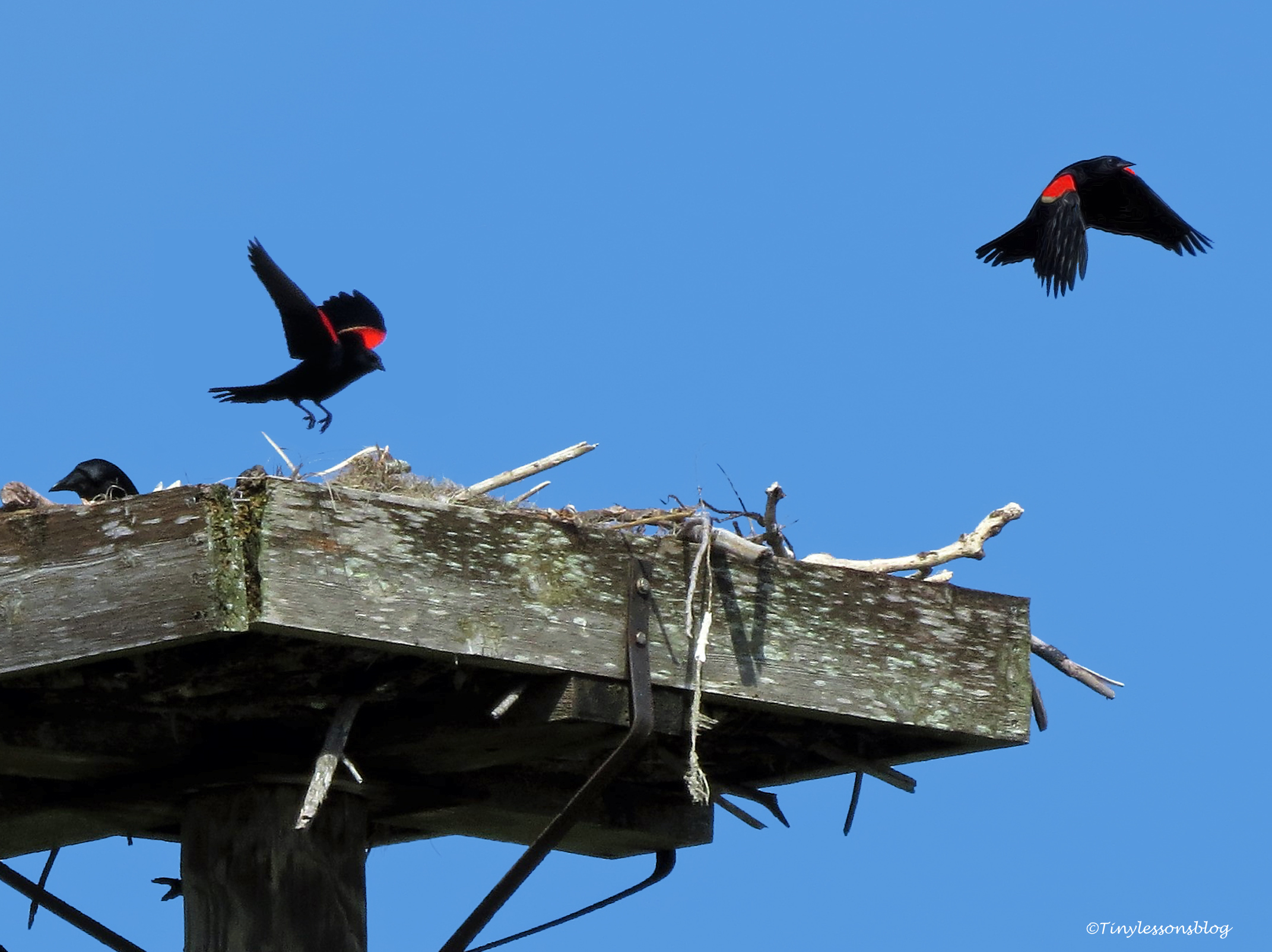 red-winged blackbirds ud67